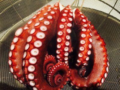 安芸灘の地蛸